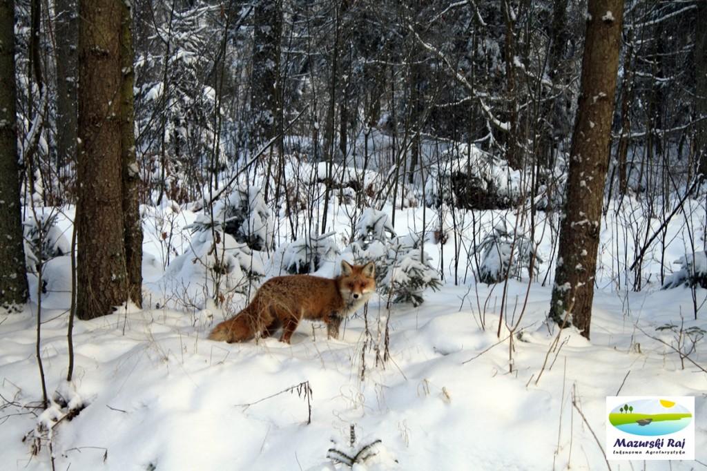 Lis przy drodze na Rapę