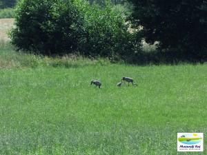 Żurawie przy drodze Kuty - Węgorzewo