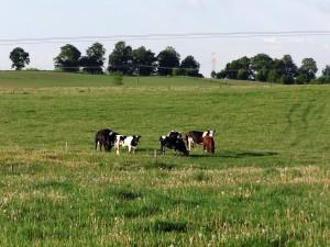 kuty, łąka, krowy, drzewa