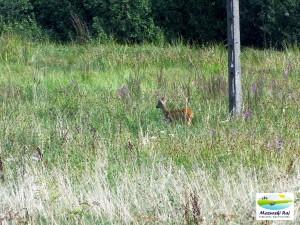 Sarenka na dzikim polu