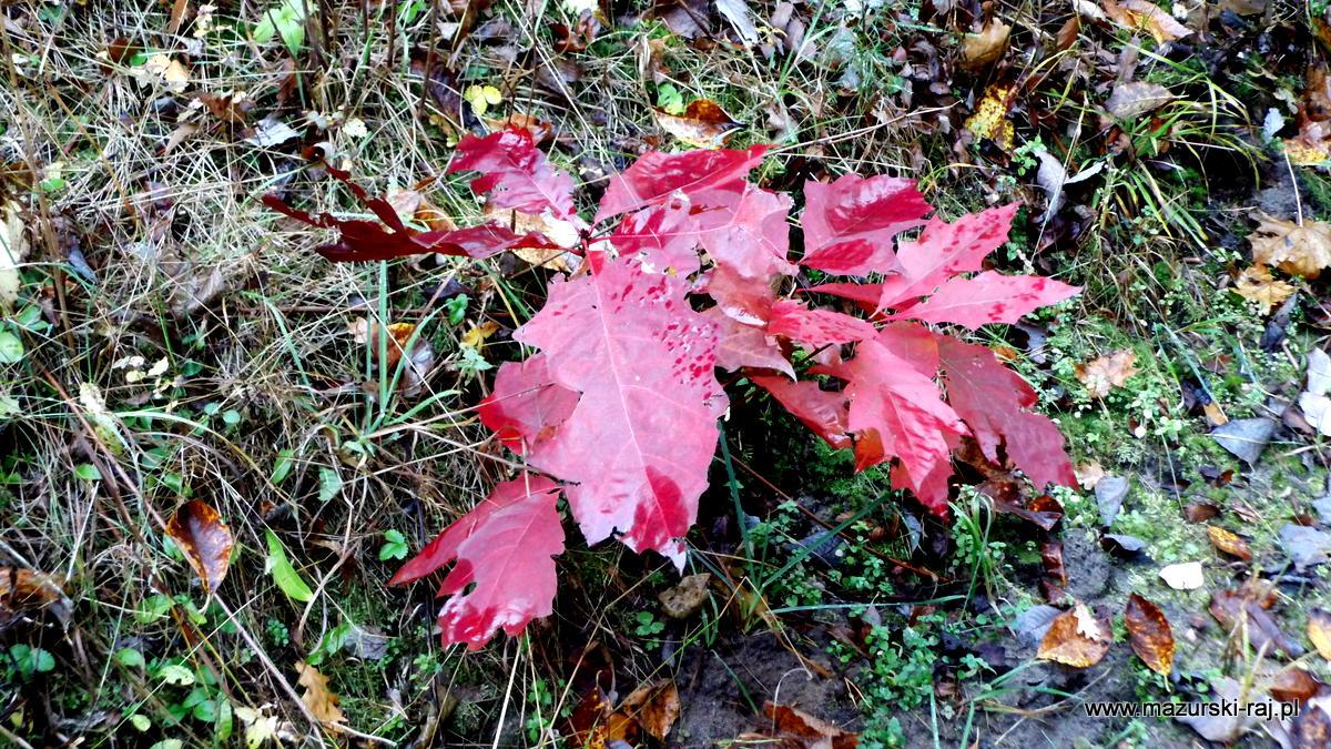 jesień, lasy, mazury, kuty, pozezdrze, krzaczek