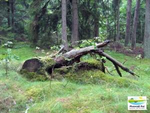 pień, wiatrołam, pozezdrze, las