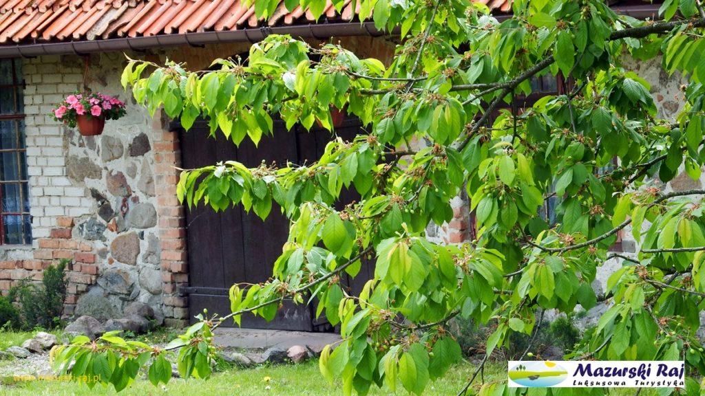 Kuty 2016 - Mazurski Raj, widok na drzewo czereśnię