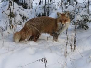 lis, lisek, zwierzę, ranny, wnyki, beznogi, las, mazury