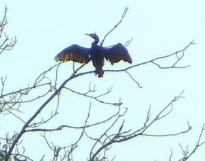 Prostujący skrzydła kormoran
