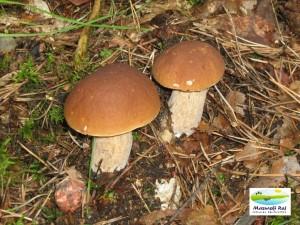 grzyby, grzybobranie, podgrzybki, las, kuty
