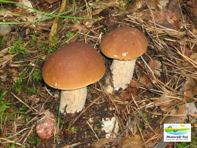 Grzybobranie na Mazurach; piekne grzyby podgrzybki