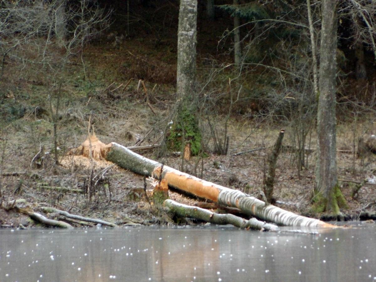 zima, drzewa, zwalone drzewa, bobry,