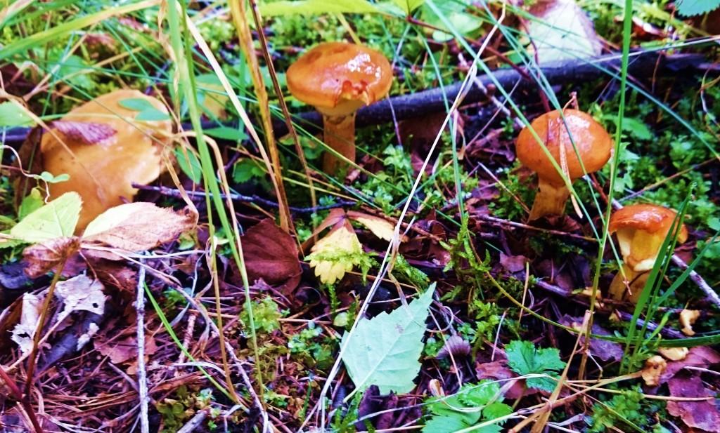 grzyby, maślaki, mazury, kuty, grzybobranie, mazurski raj noclegi,