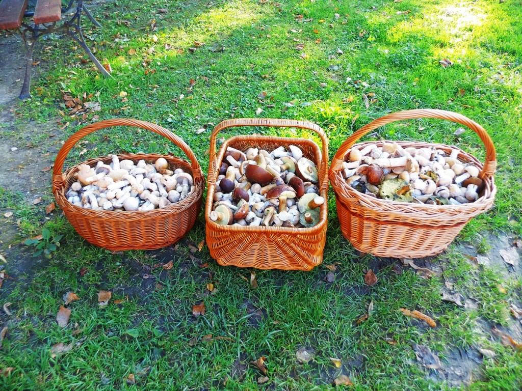 Kosze pełne grzybów kołpaków i turków