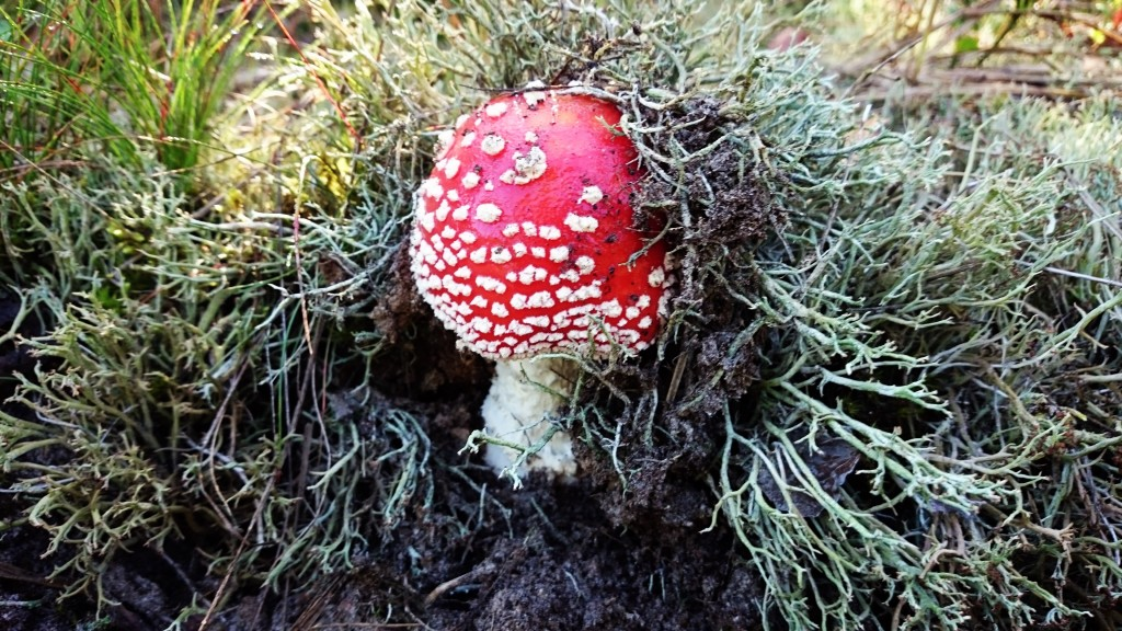 grzyb, muchomor, jesień, mazury